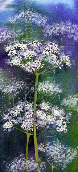 An original watercolour painting of the wild flower - Queen Anne's Lace, by Eleanor Mann