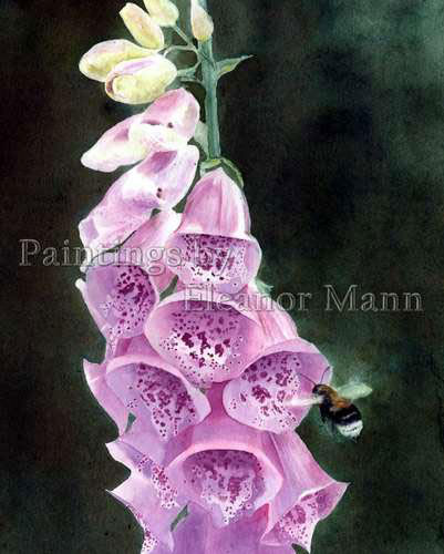 Bee and Foxglove an original watercolour painting by Eleanor Mann