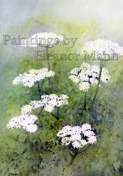 An original watercolour painting of the wild flower - Anthriscus sylvestris or Cow Parsley, by Eleanor Mann