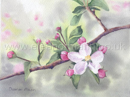 Original watercolour painting of apple blossom by Suffolk artist Eleanor Mann