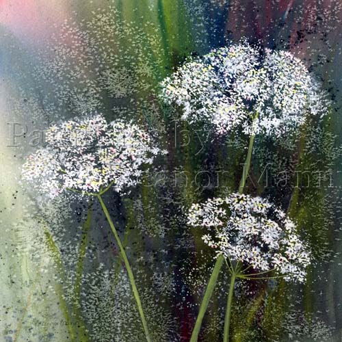 An original watercolour painting of the wild flower - Cow Parsley, by Eleanor Mann