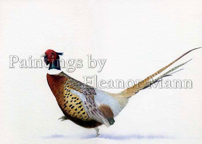 Pheasant in snow. A watercolour of a beautiful cock pheasant was in watercolour by Eleanor Mann.